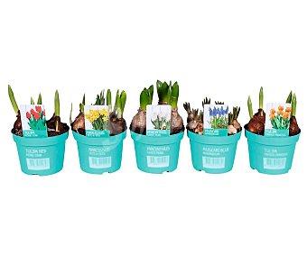Viveros Mix de bulbos jacintos en maceta, tamaño 12 centímetros, viveros.