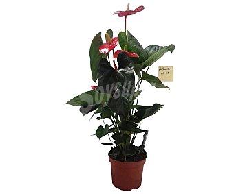 Florabella Anturio de flores rojas, florabella
