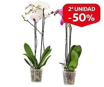 Batlle Mix plantas flor en maceta, tamaño de 12 centímetros, 1 unidad, batlle. 1 unidad